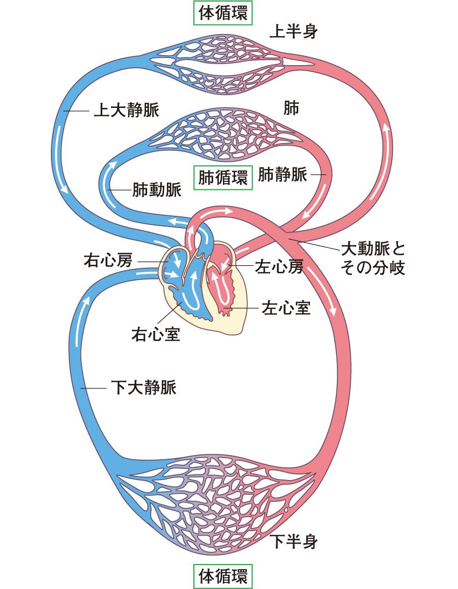全身の循環 全身の血管|身体のしくみとはたらき―楽しく学ぶ解剖生理|看護roo![カンゴルー]