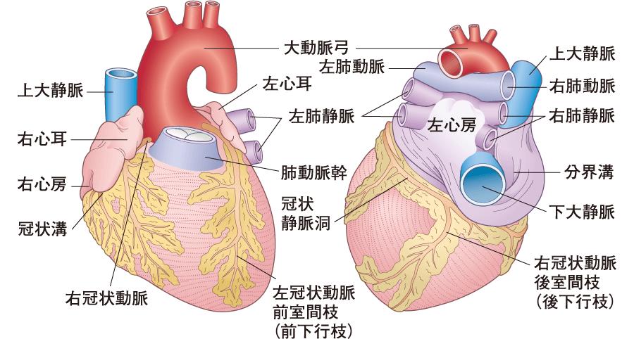 心臓の外観