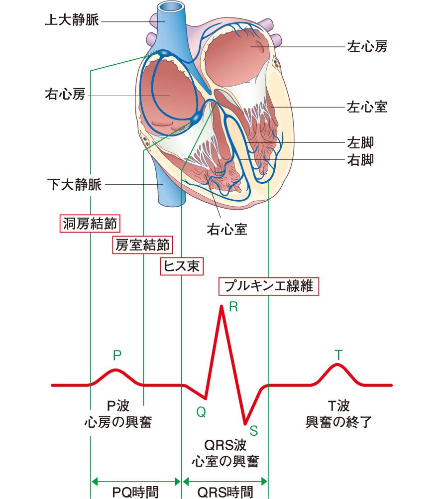 心臓の刺激伝導系