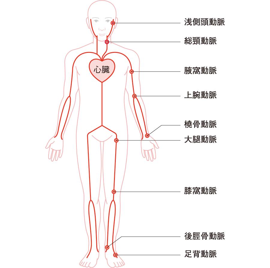 脈拍の測定部位
