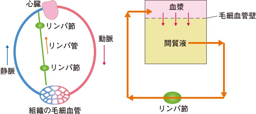 細胞外液の循環