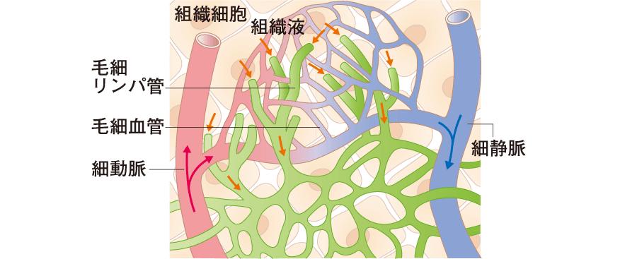 リンパ管の分布と特殊な構造