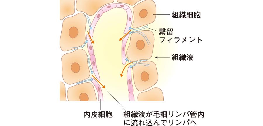毛細リンパ管末端断面