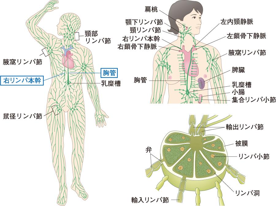 主なリンパ節とリンパ管系