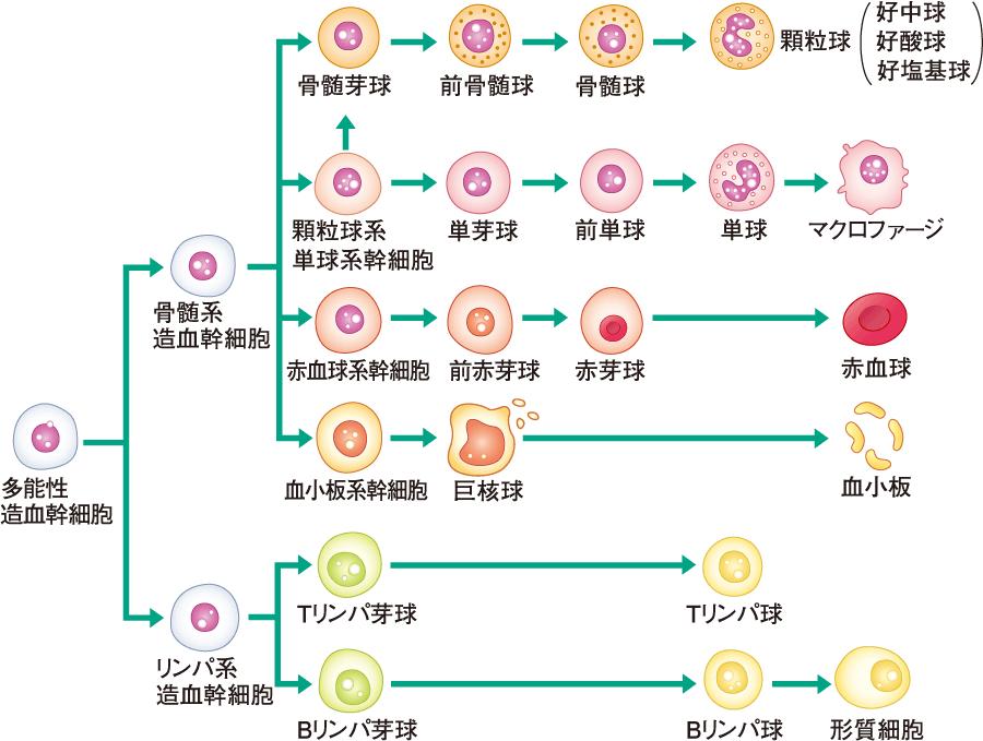 血球の成熟過程