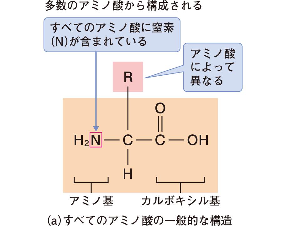 蛋白質の構造