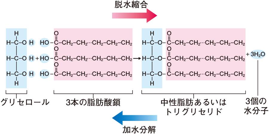 中性脂肪(トリグリセリド)の合成と分解