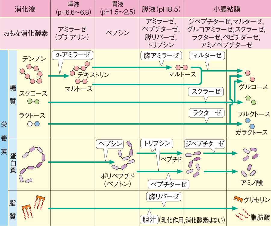 栄養素の消化過程