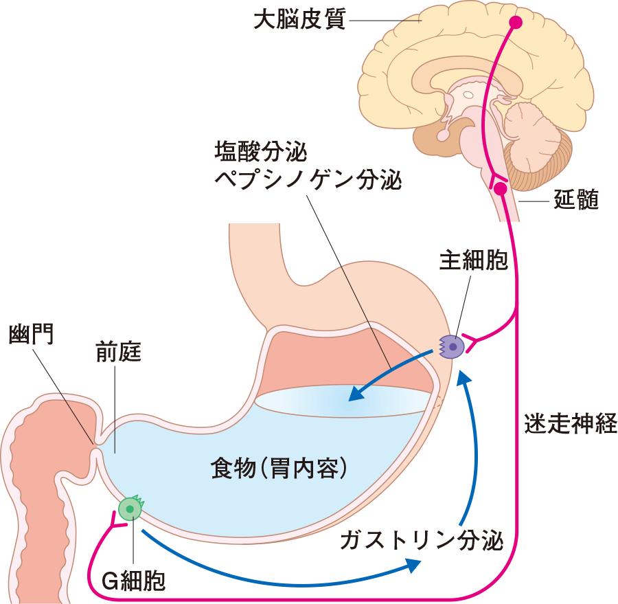 胃液の分泌調節