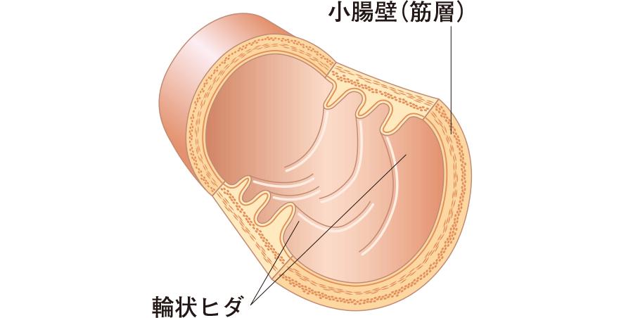 小腸の構造
