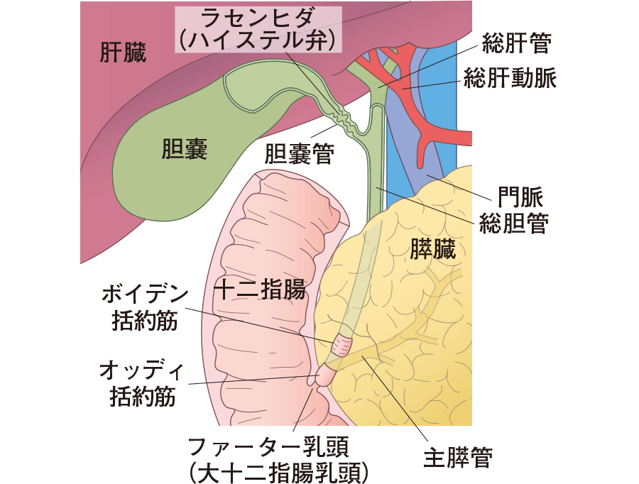 十二指腸と周辺器官