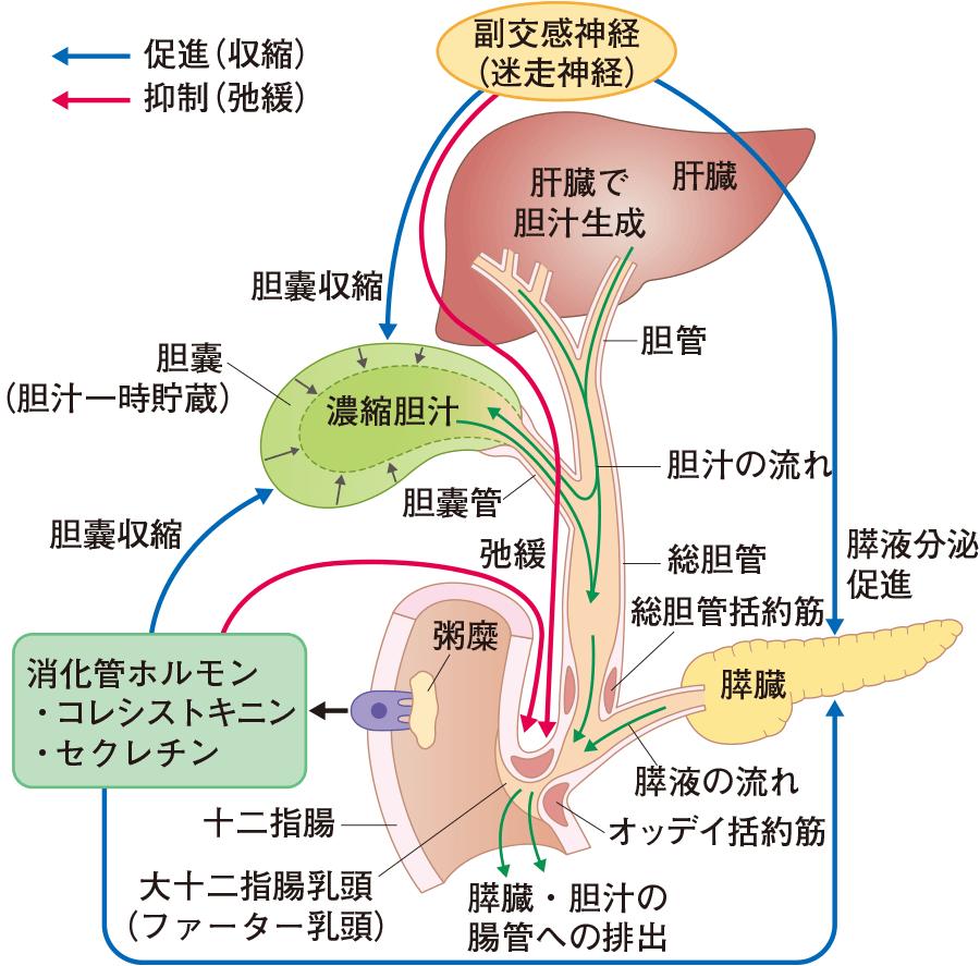 胆汁と膵液の分泌調節