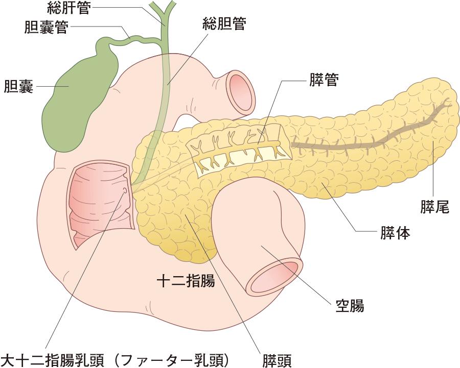 膵臓と胆嚢