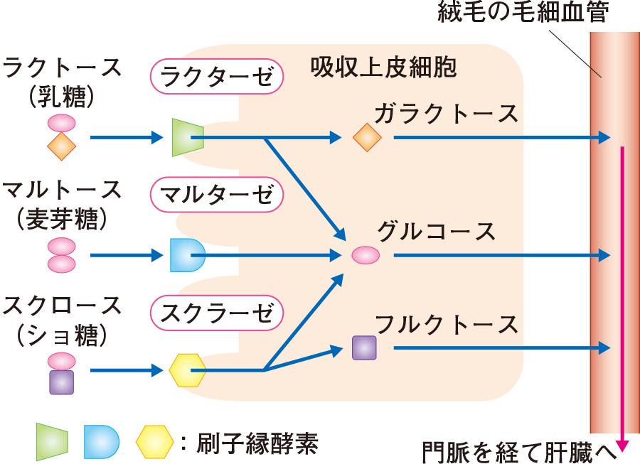 二糖類の分解と吸収