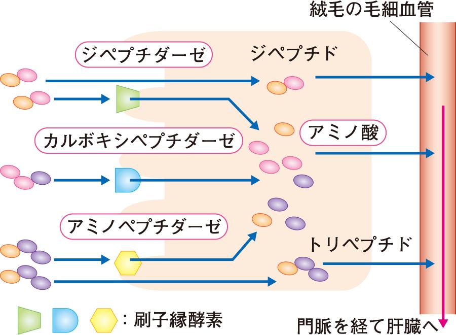 蛋白質の分解と吸収