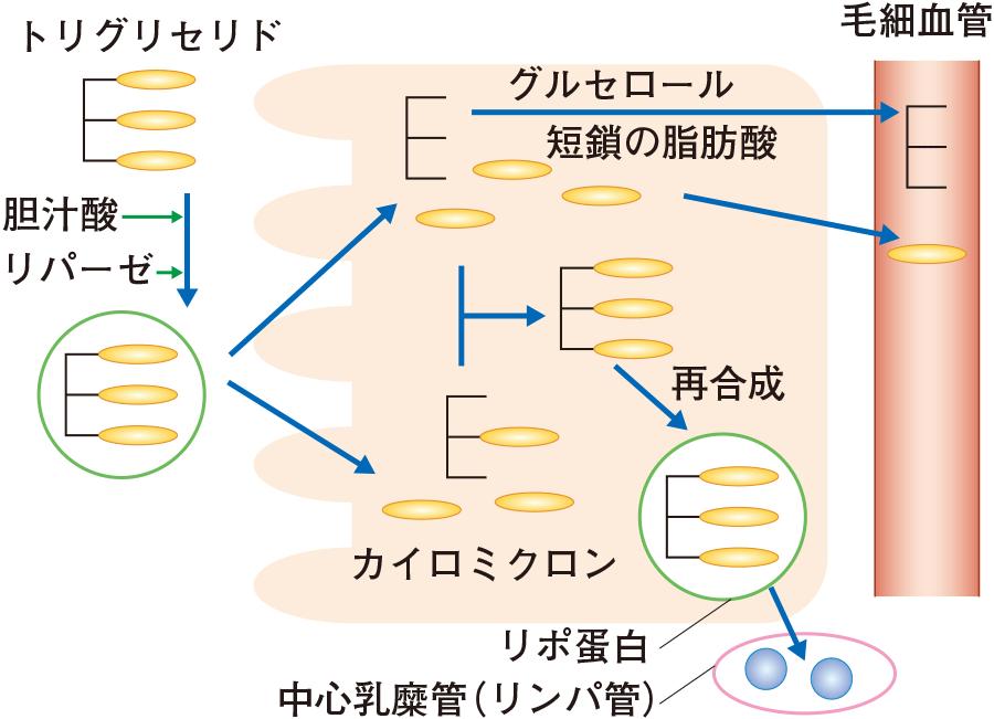 脂質の分解と吸収