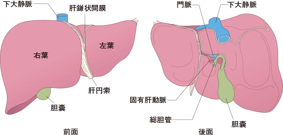 肝臓の前面と後面