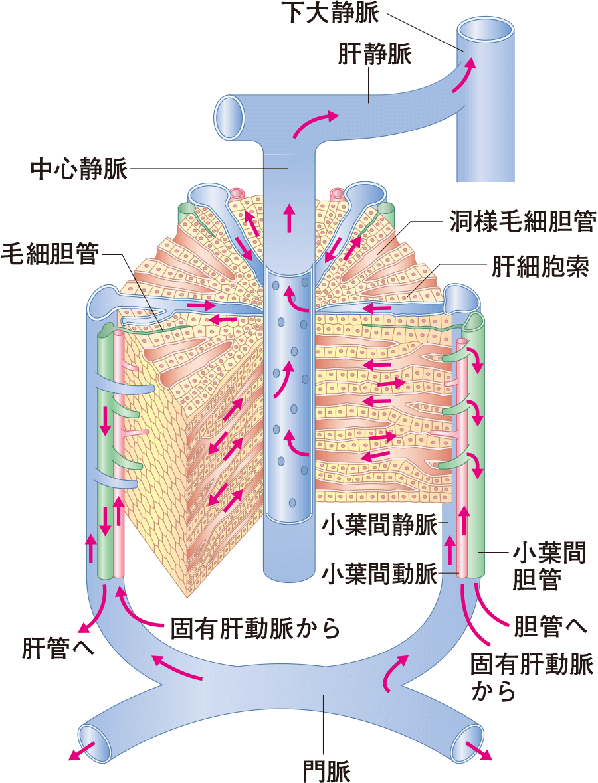 肝小葉:肝臓の血流と胆汁の流れ