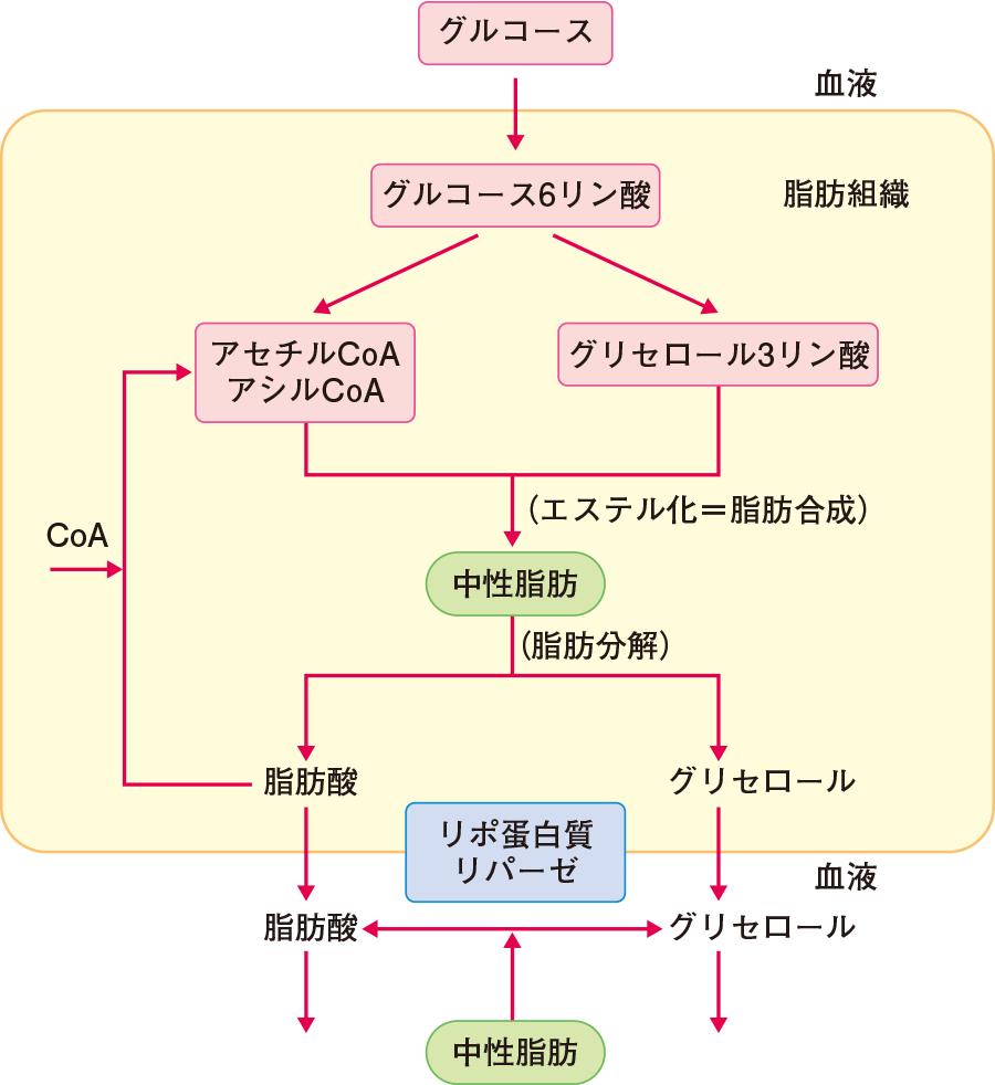 中性脂肪の合成と分解:合成と分解のバランスがとれている状態