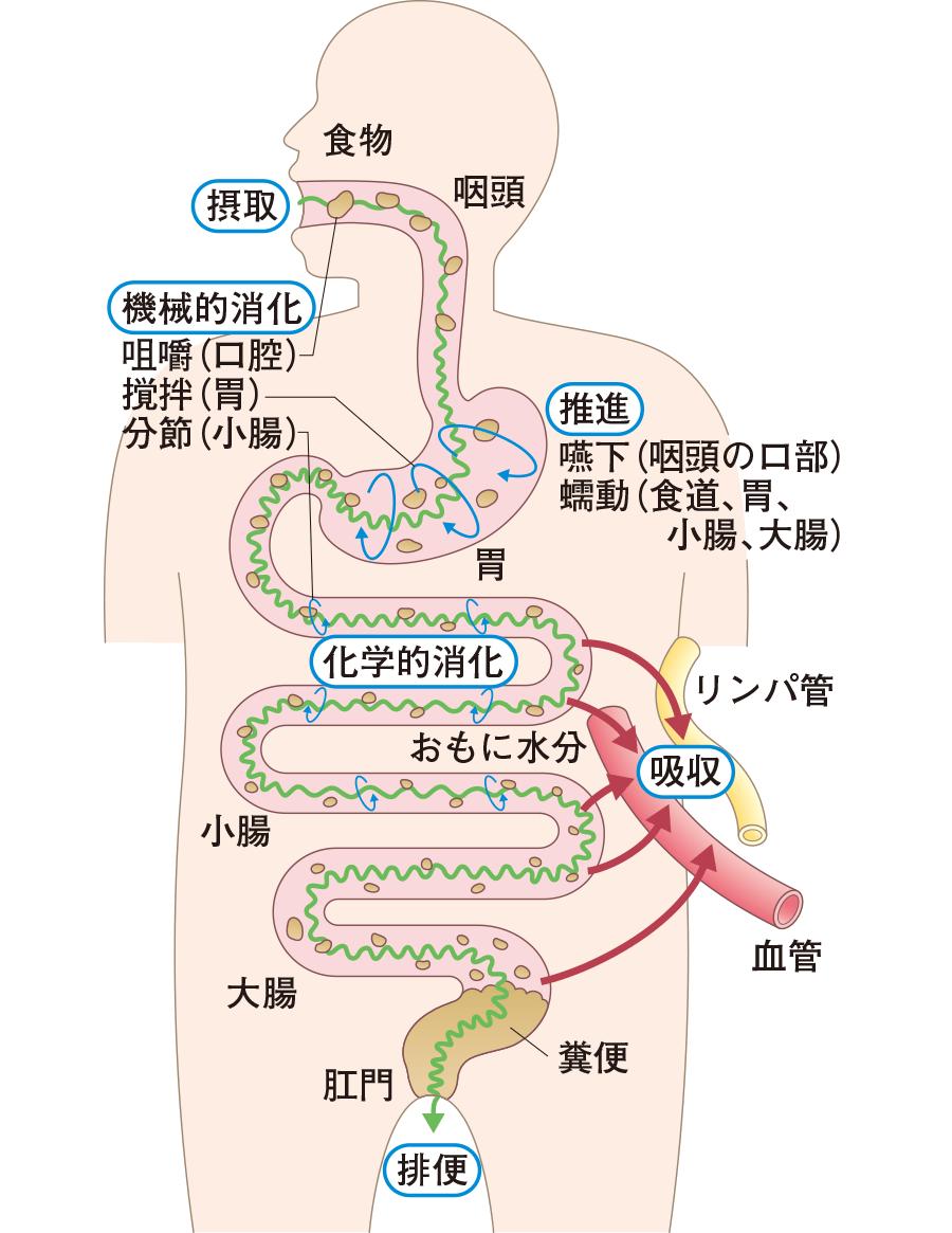 消化管のはたらきの模式図