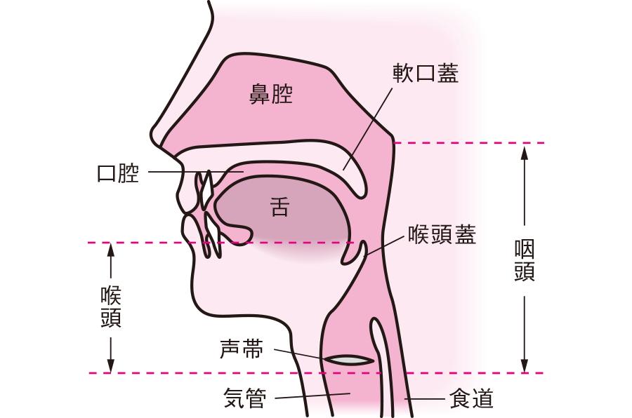 嚥下に係わる器官