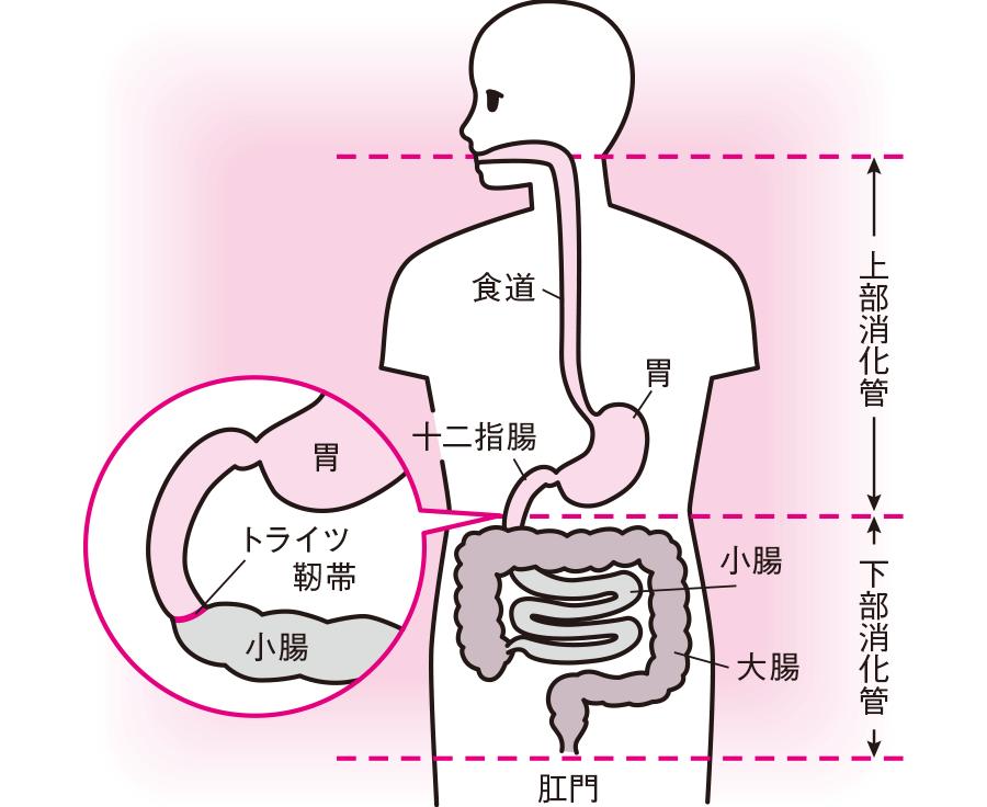 上部消化管と下部消化管