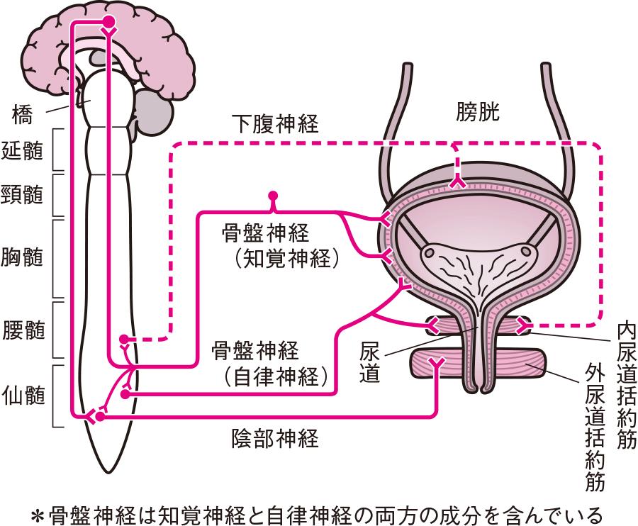 排尿に関する神経と筋肉