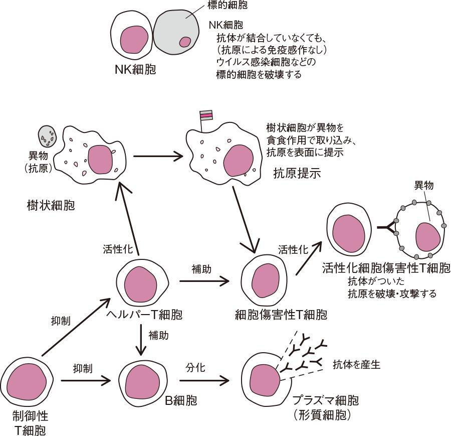 NK細胞と抗原提示によるT胞、B細胞の活性化