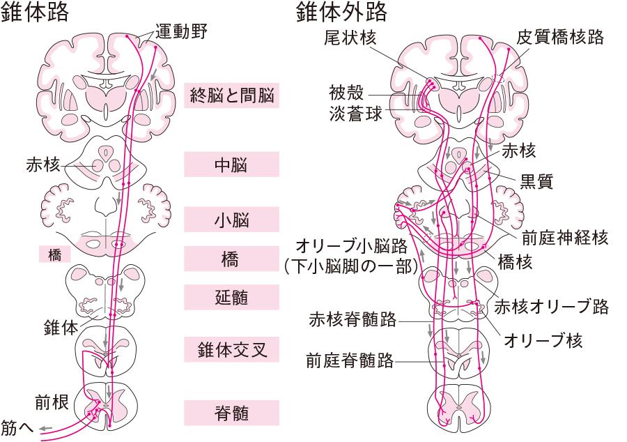 足の血管を解剖図で詳しく紹介!下肢にはどんな動 …