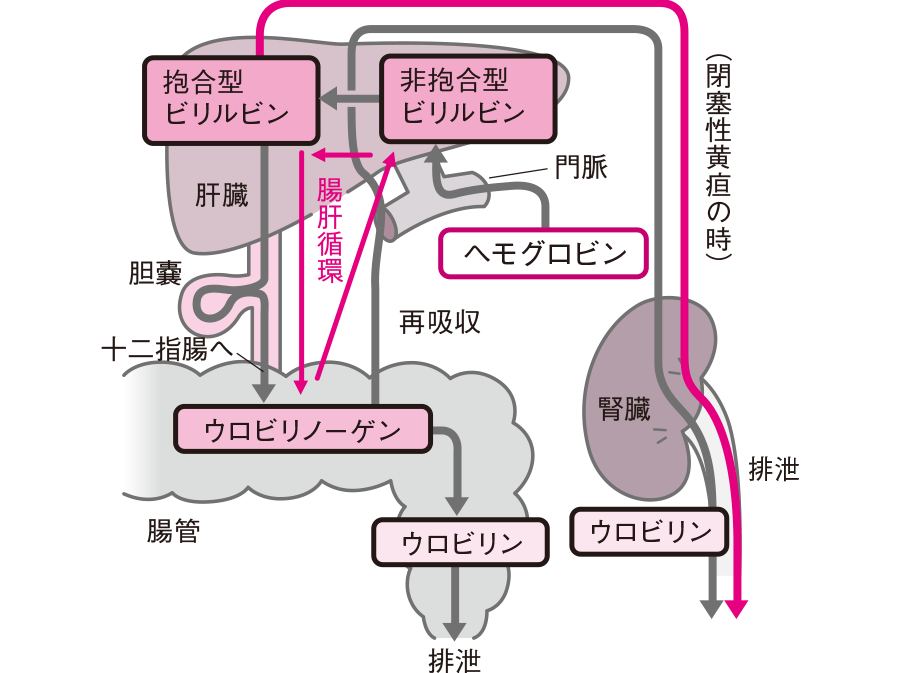 Images of ウロビリノーゲン - JapaneseClass.jp
