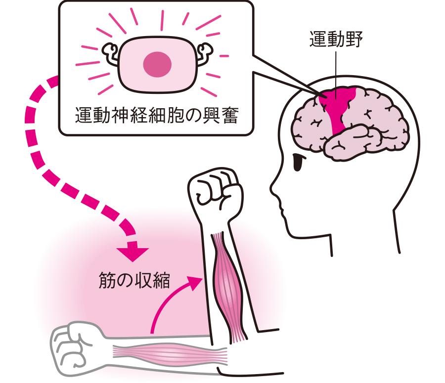 筋肉収縮のメカニズム