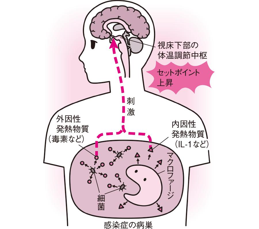 内因性発熱物質によるセットポイントの上昇