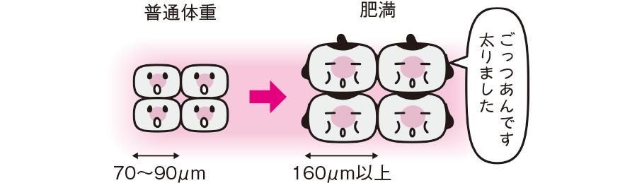 脂肪細胞への脂肪の蓄積