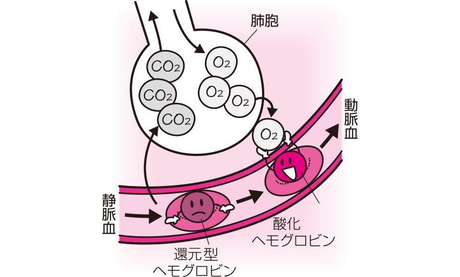 酸化ヘモグロビンと還元型ヘモグロビン