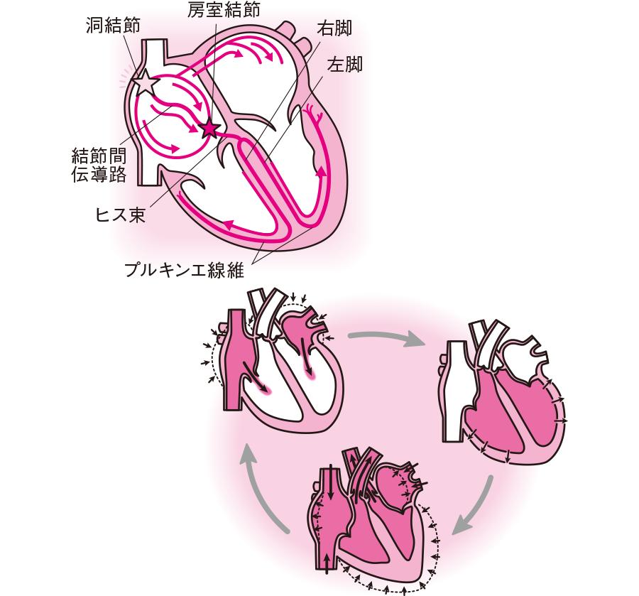 心臓の動きと動悸との関係