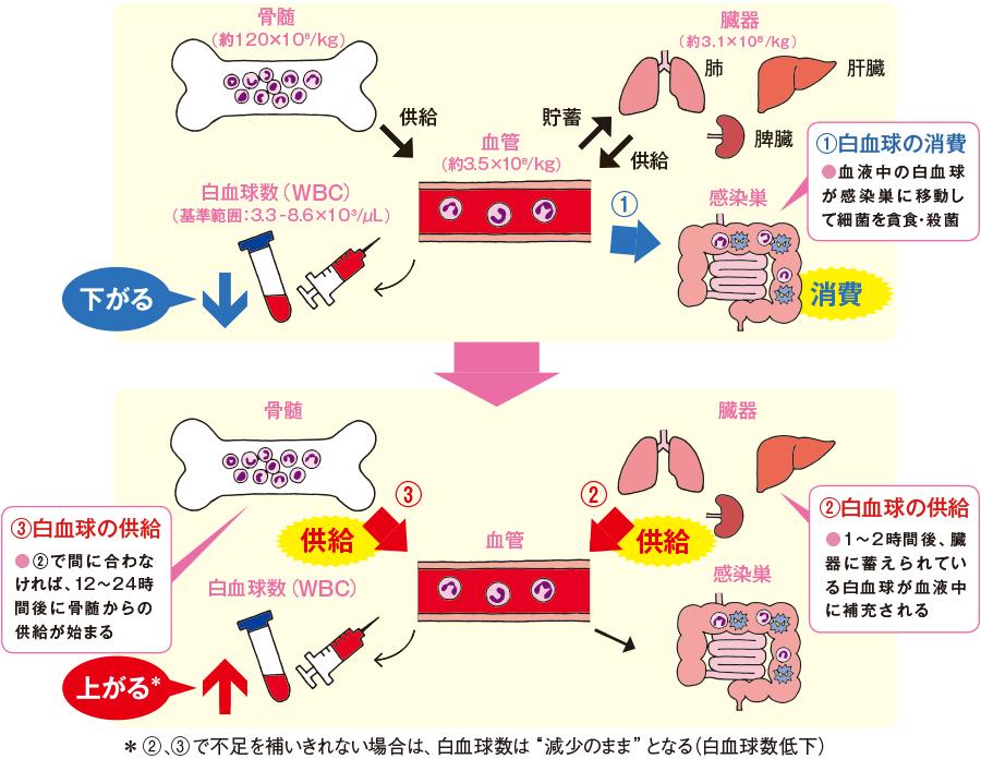 白血球の体内分布と白血球数の推移