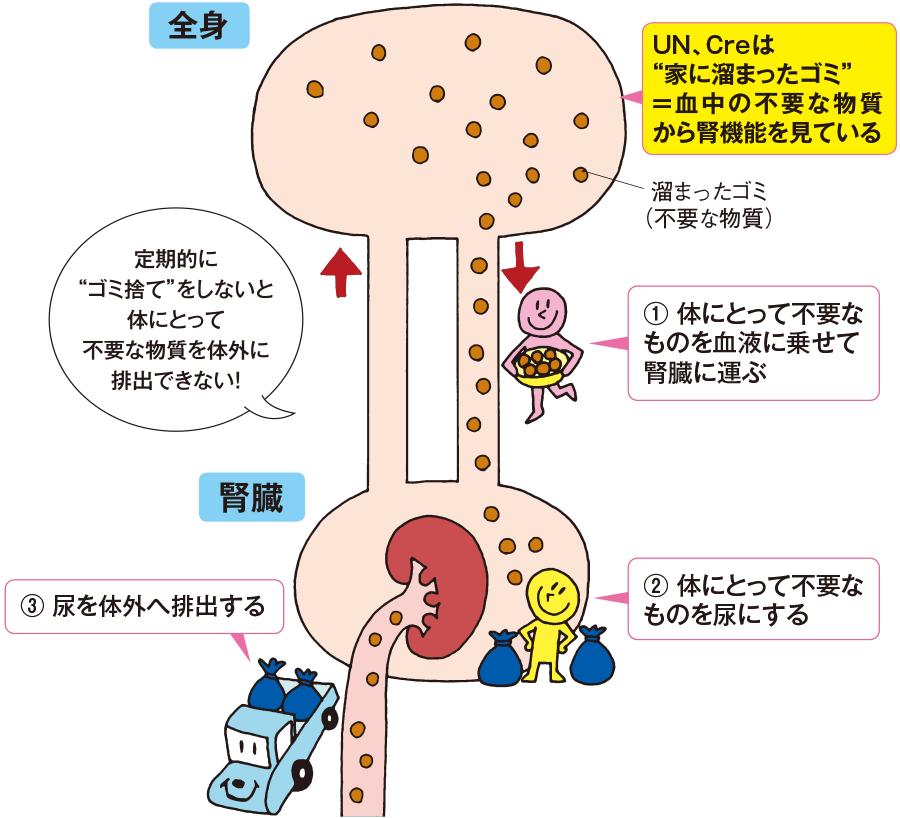 腎臓の役割とUN、Cre検査の意義