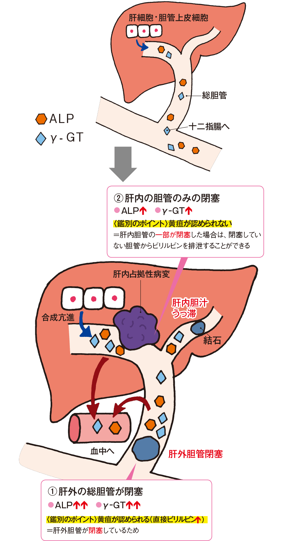 機能 は と 肝 alp