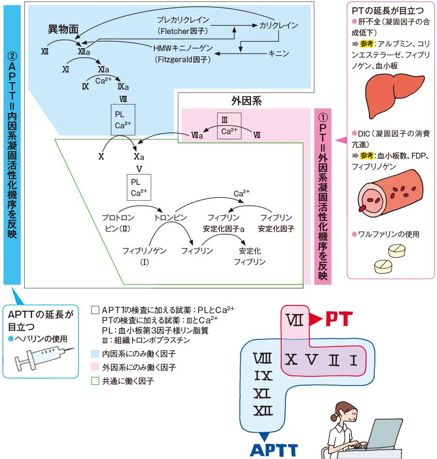 APTTとPTに関与する因子群