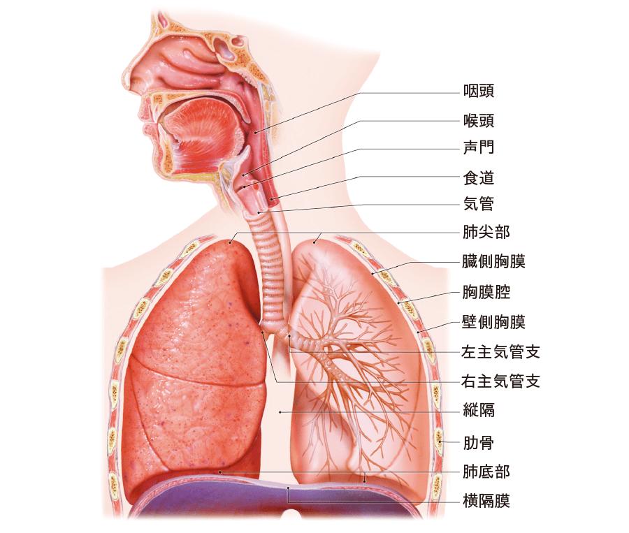 胸腔の解剖