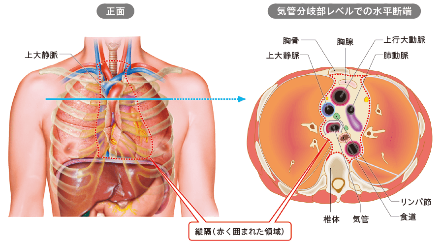 縦隔の解剖