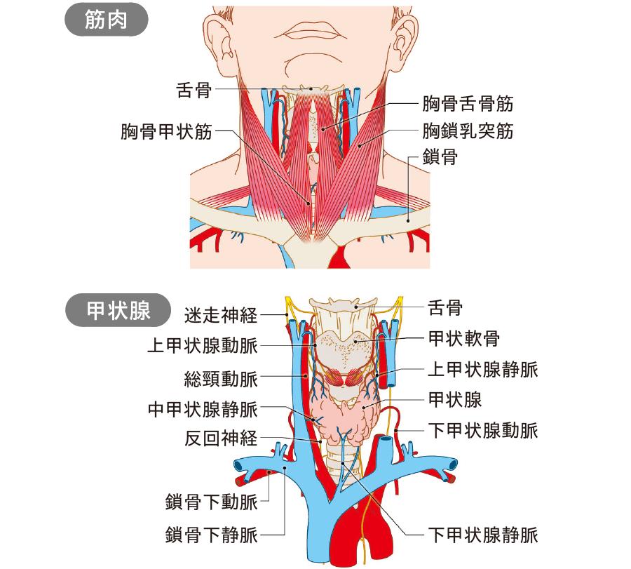 頸部・甲状腺の解剖