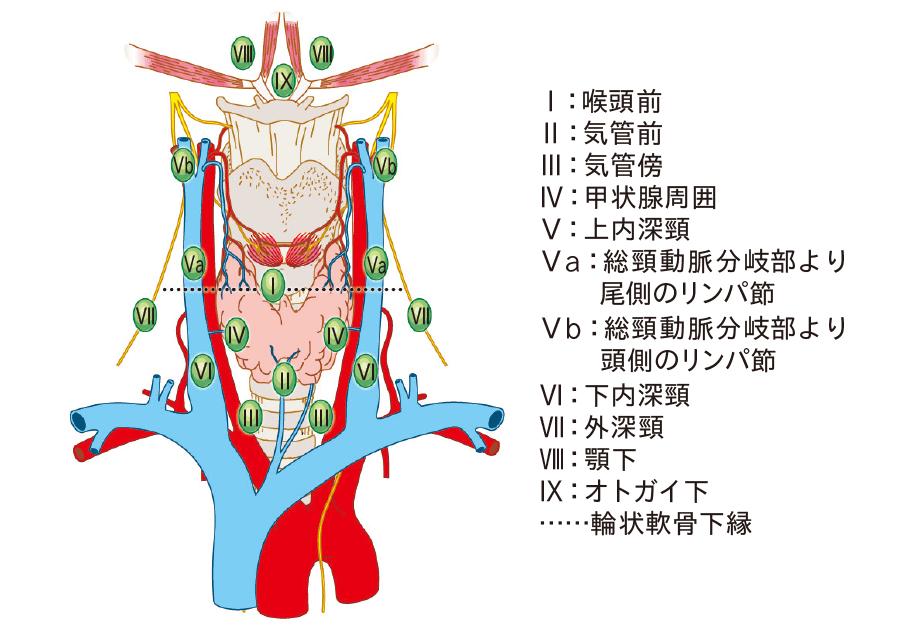 甲状腺の所属リンパ節