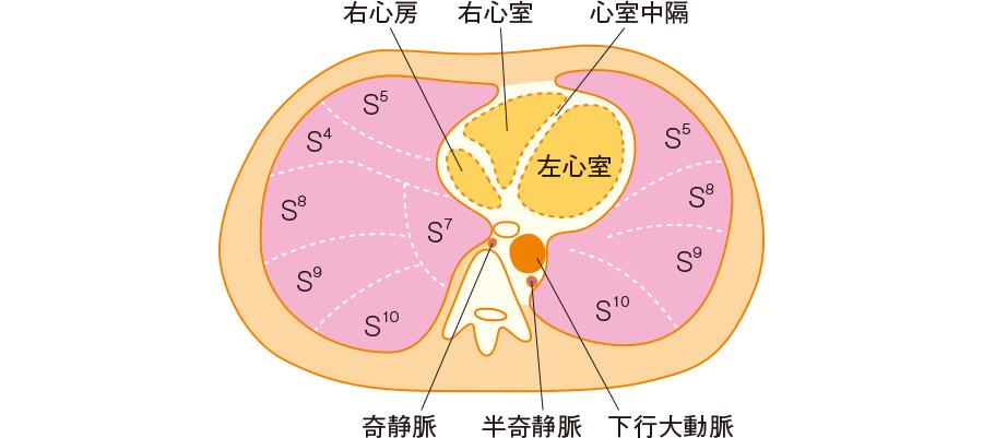 肺と心臓の位置関係(例)