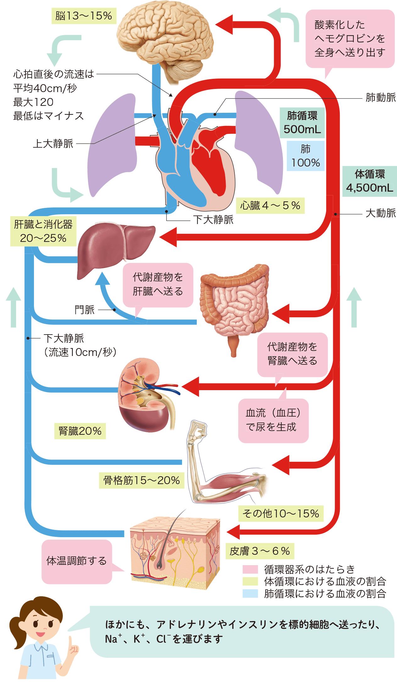 循環器系の構成・はたらきと血液分布