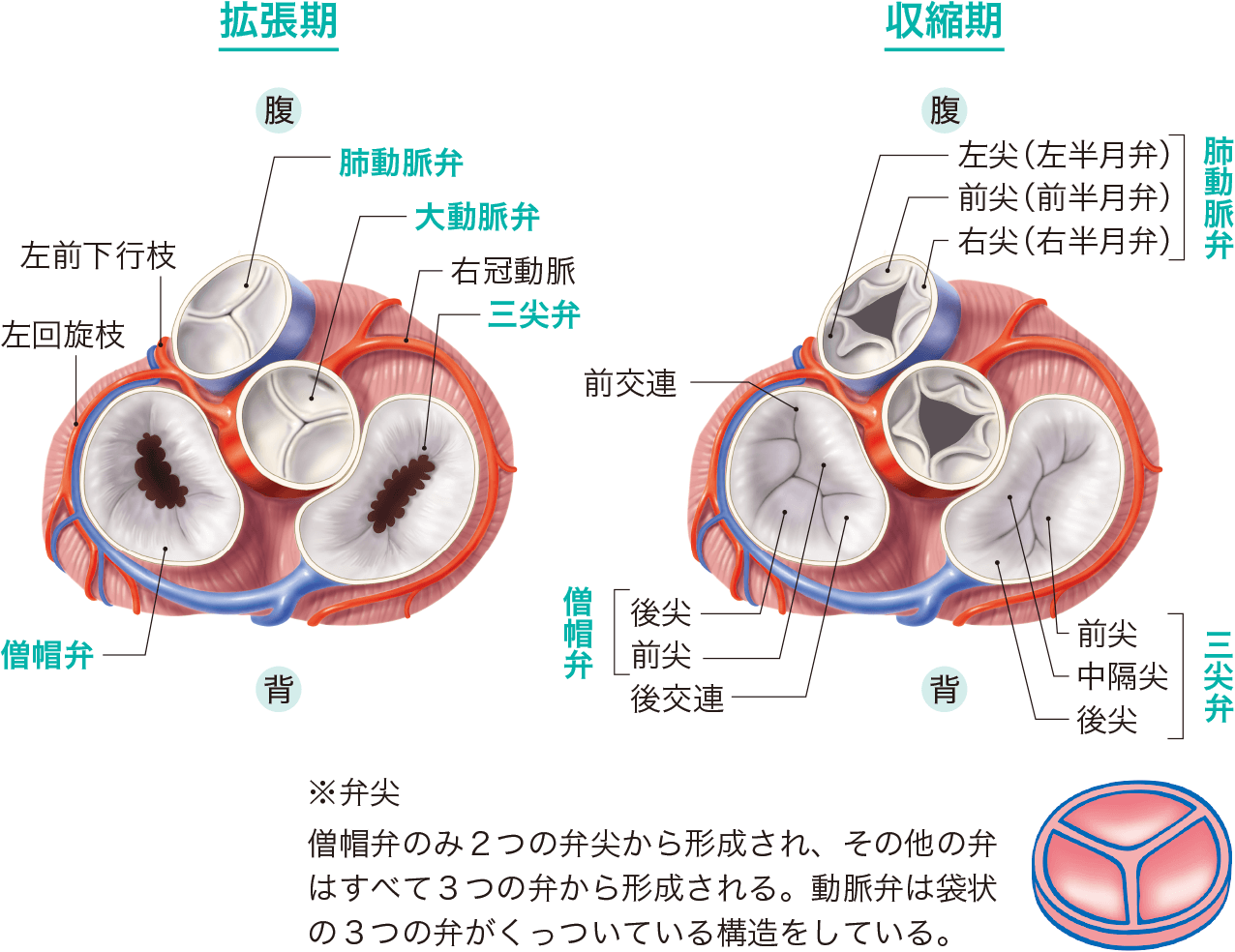心臓弁の種類 弁尖