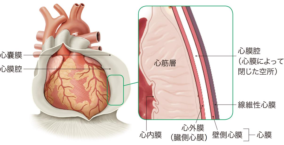 心膜の構造としくみ