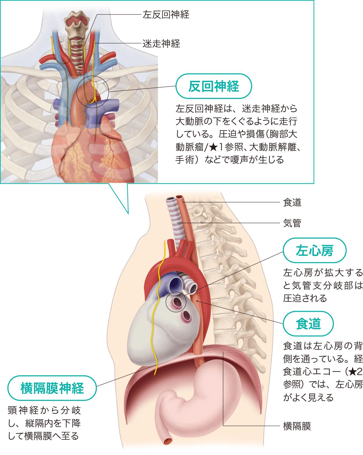 心臓の周辺臓器と影響 反回神経 食道 横隔膜神経