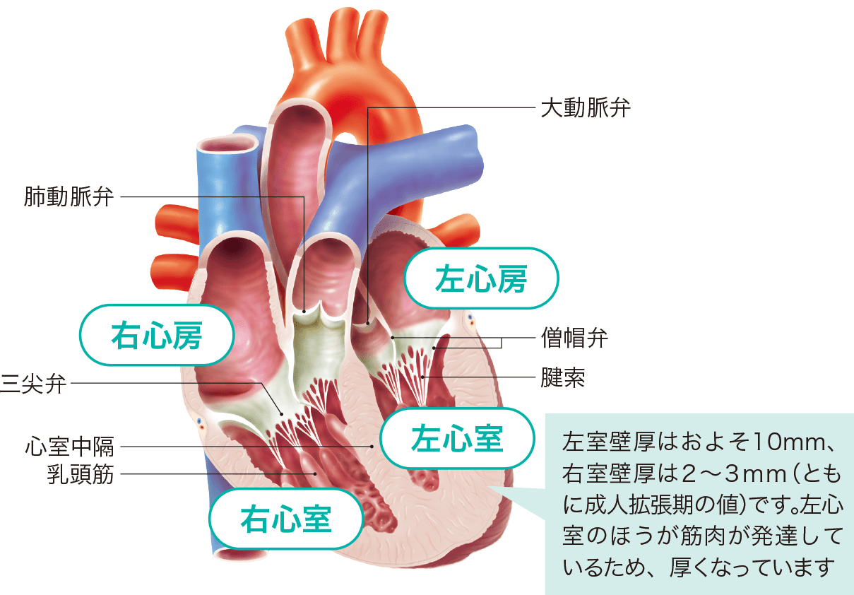 心臓の各部の名称 右心房 右心室 左心房 左心室