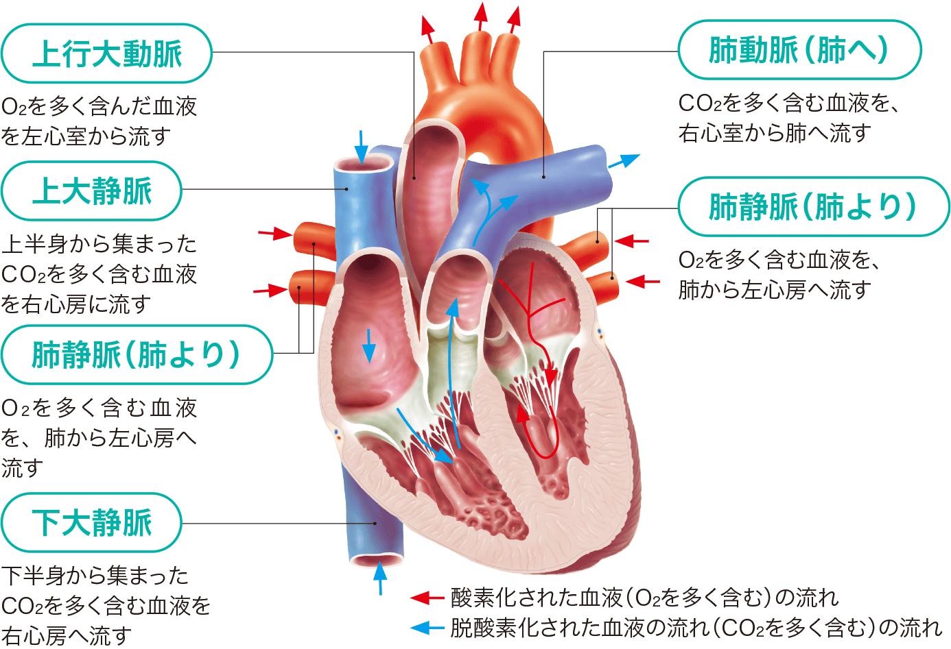 心臓の中の血液の流れ